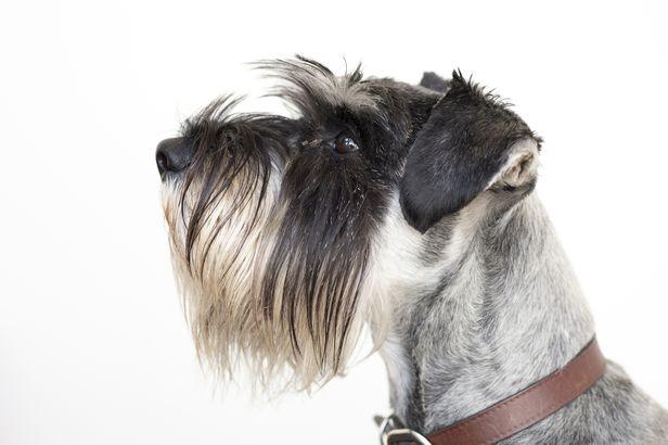 Standard Schnauzer hypoallergenic dog