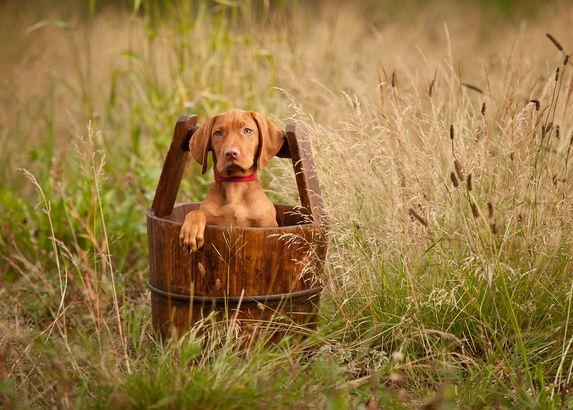 Vizslas dog