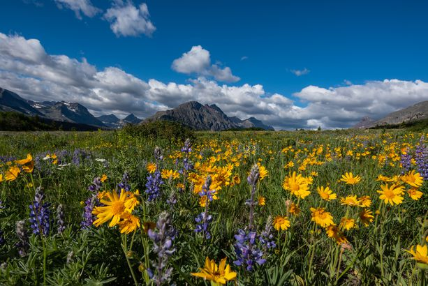 Wildflower Field in Montana Wilderness