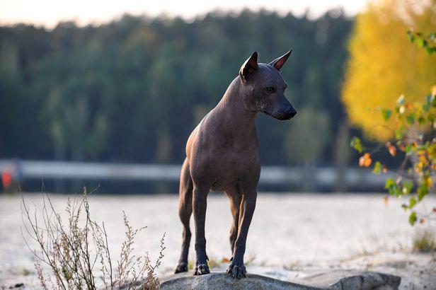 Xoloitzcuintli hypoallergenic dog