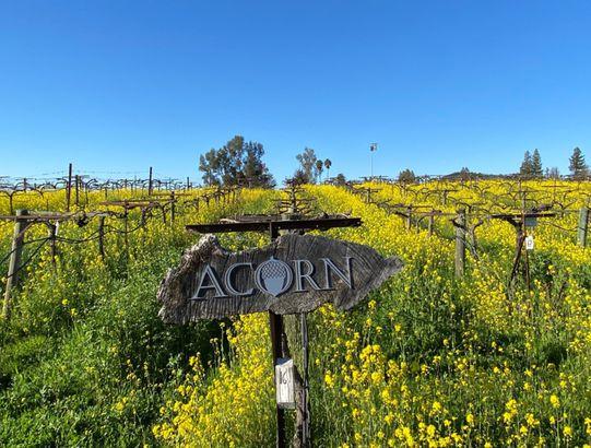 ACORN Winery/ Alegría Vineyards, Healdsburg