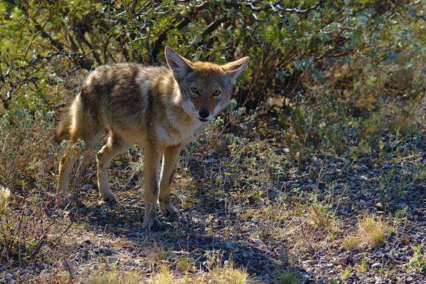 Coyote in Big Bend