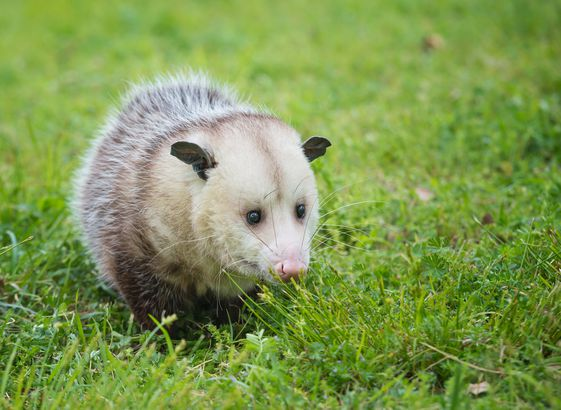 Virginia Opossum foraging for food in grass
