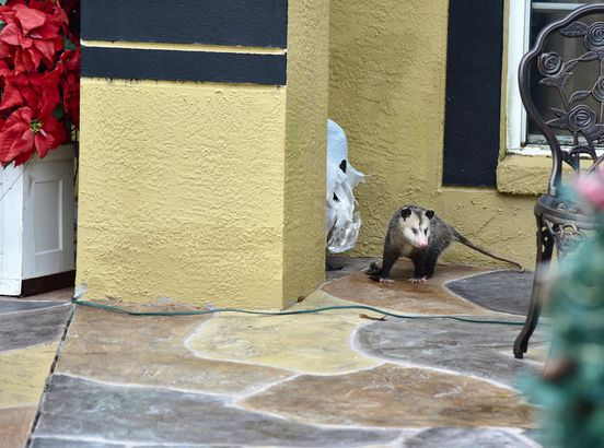 Possum is tearing and ribbing apart garbage bag