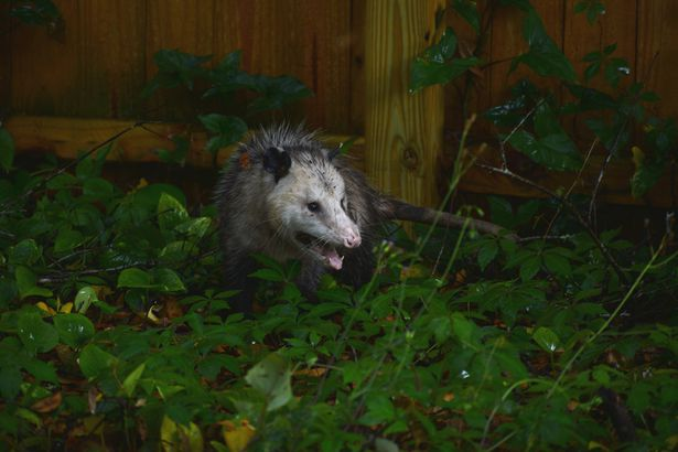 Virginia Opossum (didelphis virginiana) face