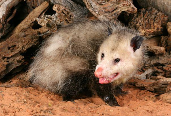 Opossum  (Didelphis marsupialis)