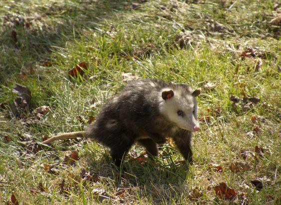 Wary Opossum