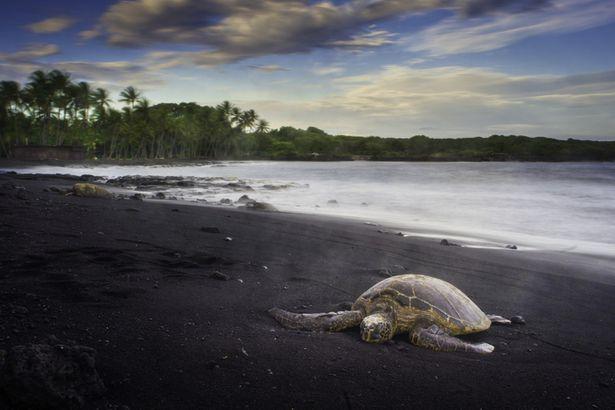 Panalu'u turtle
