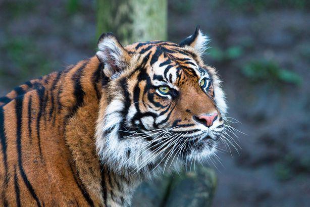 Sunda tiger