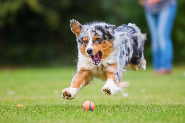 Australian Shepherd playing