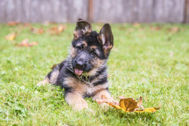 German Shepherd puppy with leaf