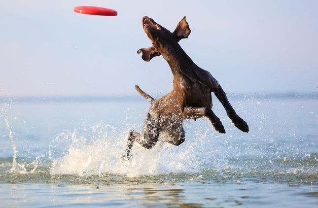 Pointers (German Shorthaired)