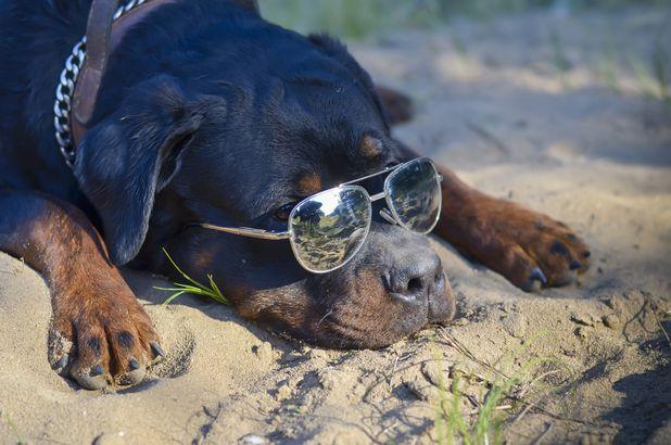 Rottweiler in glasses
