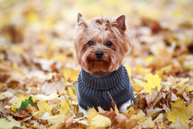 Yorkshire Terrier in a sweater