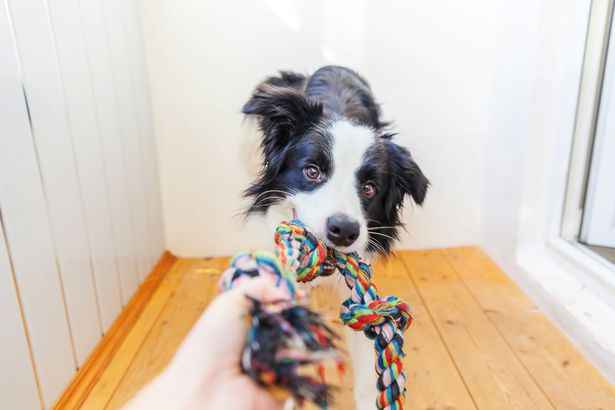 Border collie playing rope