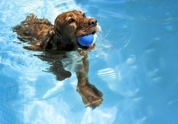 Cocker Spaniel swimming