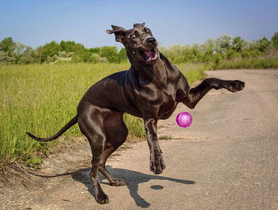 Great Dane playing