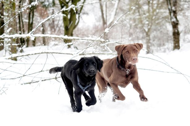 Labs running in the snow