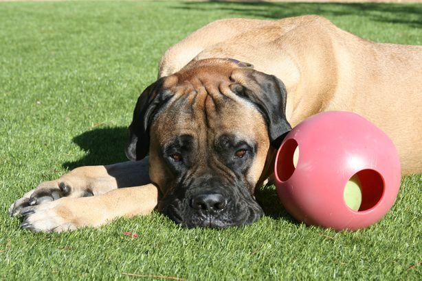 Mastiff playing with ball