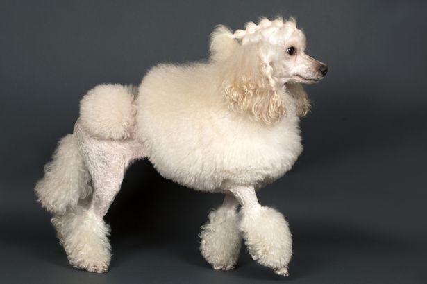 Poodle posing