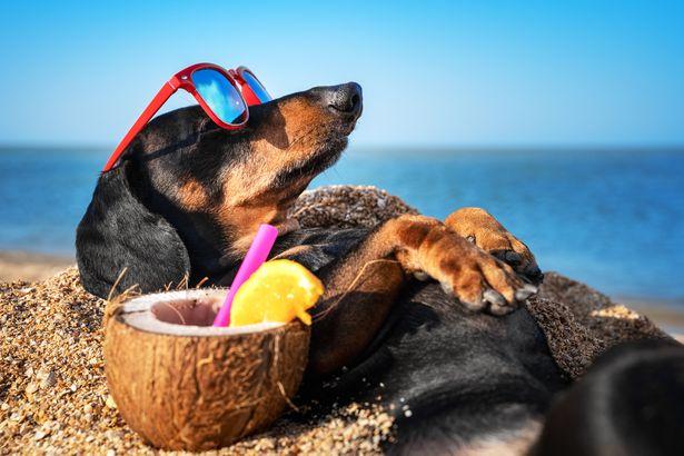 Dachshund on vacation