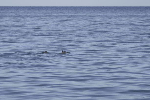 Vaquita porpoise