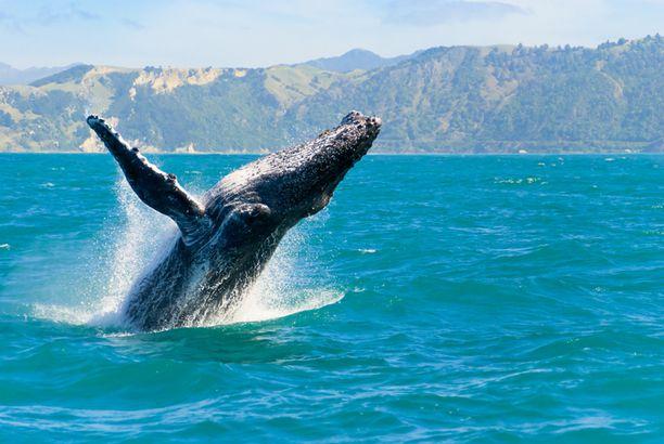Whale off Hawaii coast